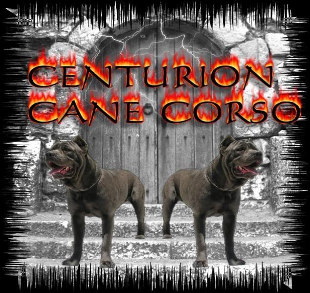 Centurion Cane Corso Indiana Breeders Of Quality Cane Corso