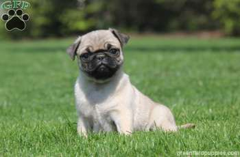 Lilac Pug Puppy For Sale In Pennsylvania Pug Puppies For Sale