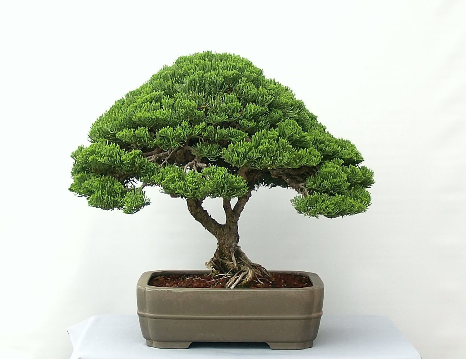 Images For Juniperus Procumbens Nana Bonsai Plant Art Bonsai Tree