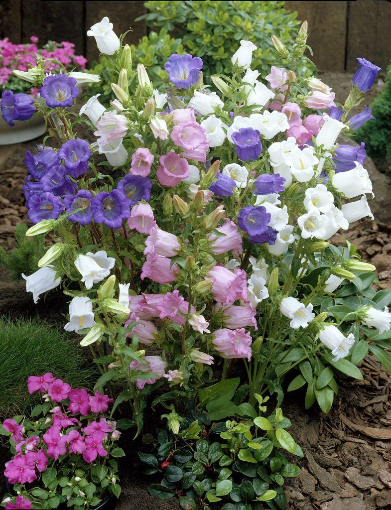Canterbury Bells Medium Campanula Medium Romantic Garden Flowers Plants