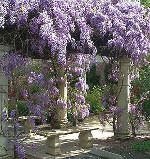 Can You Grow Wisteria In A Pot Google Search Wisteria