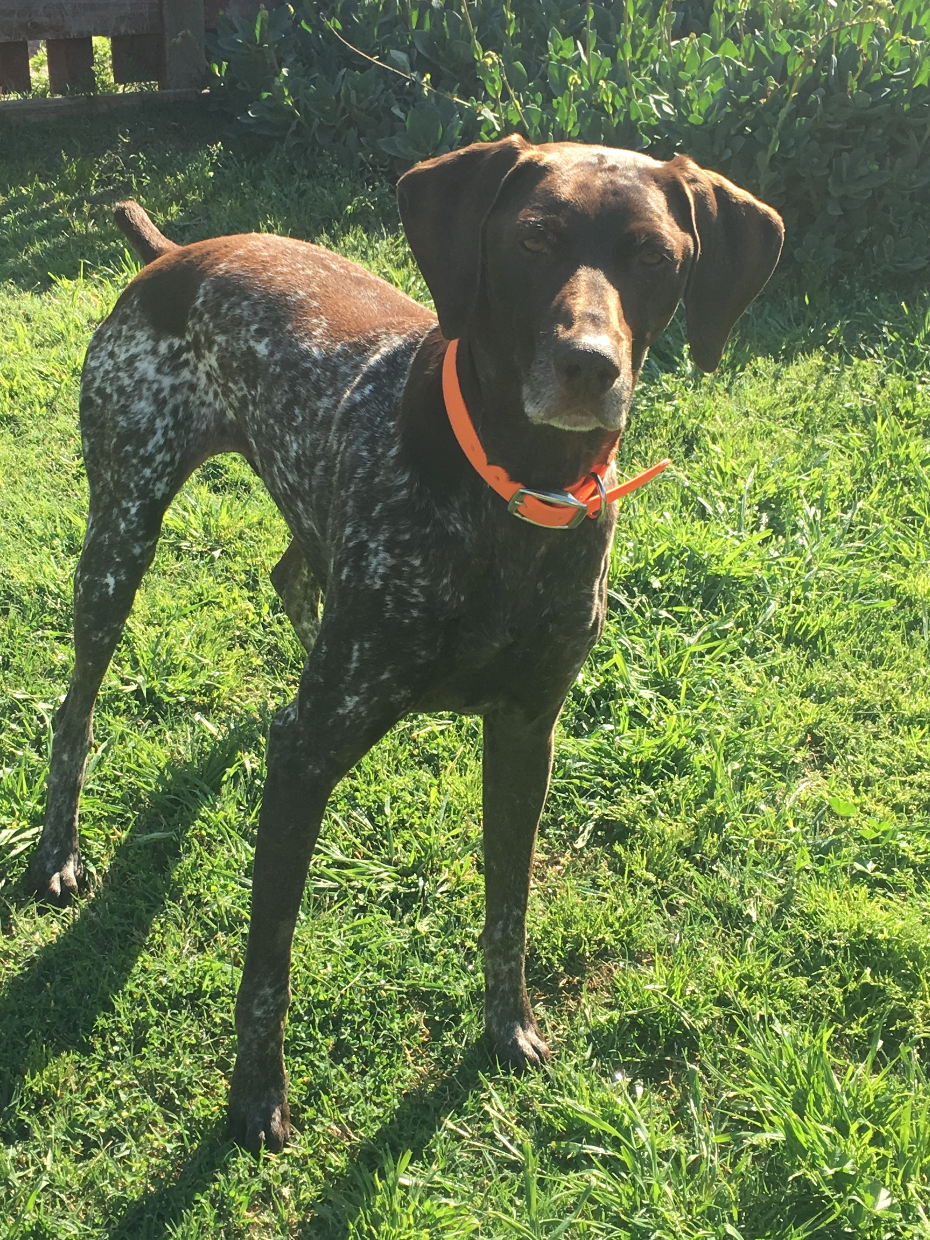 Pin By Serrano Days By Wilkens Ifb On Gunter My German Shorthaired Pointer Hunting Dogs German Shorthaired Pointer Dogs