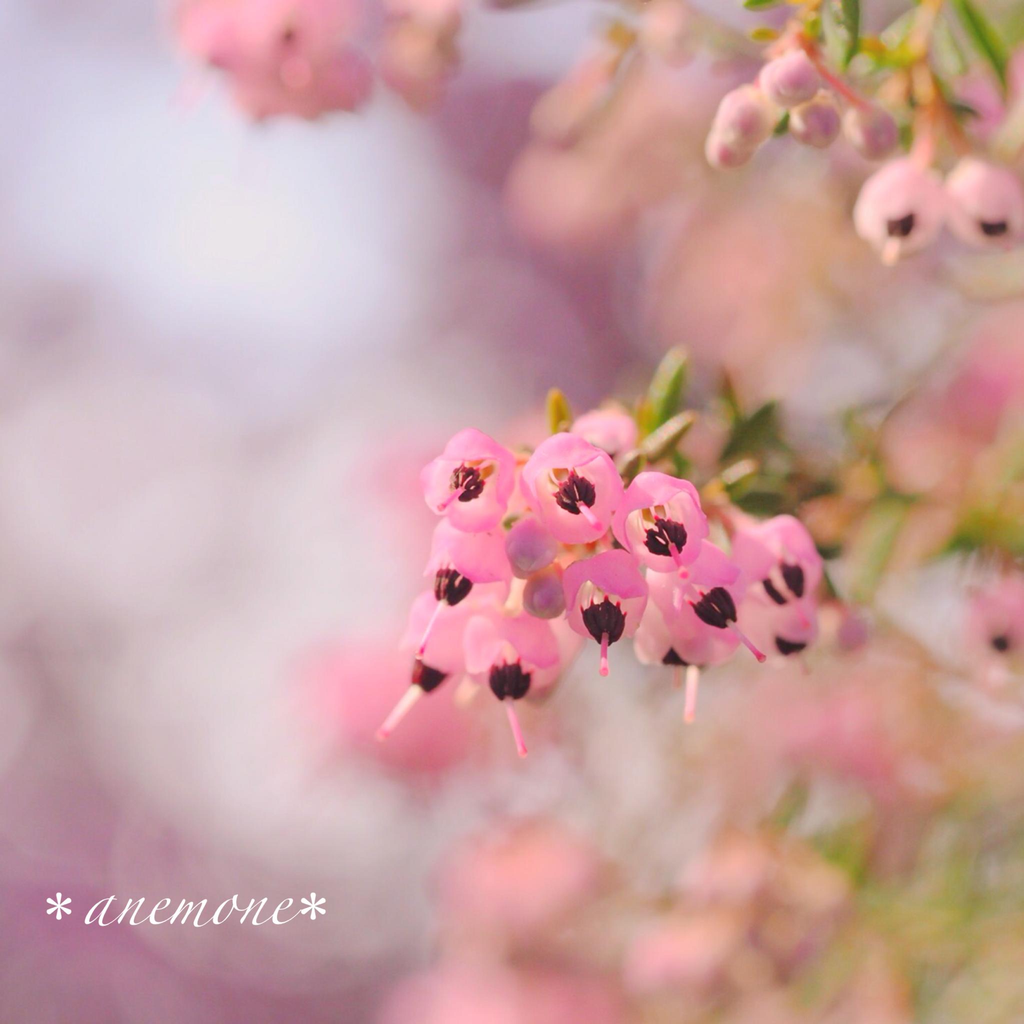 ジャノメエリカ Channelledheath Heath Flower Flowers Tea Pots Stud Earrings