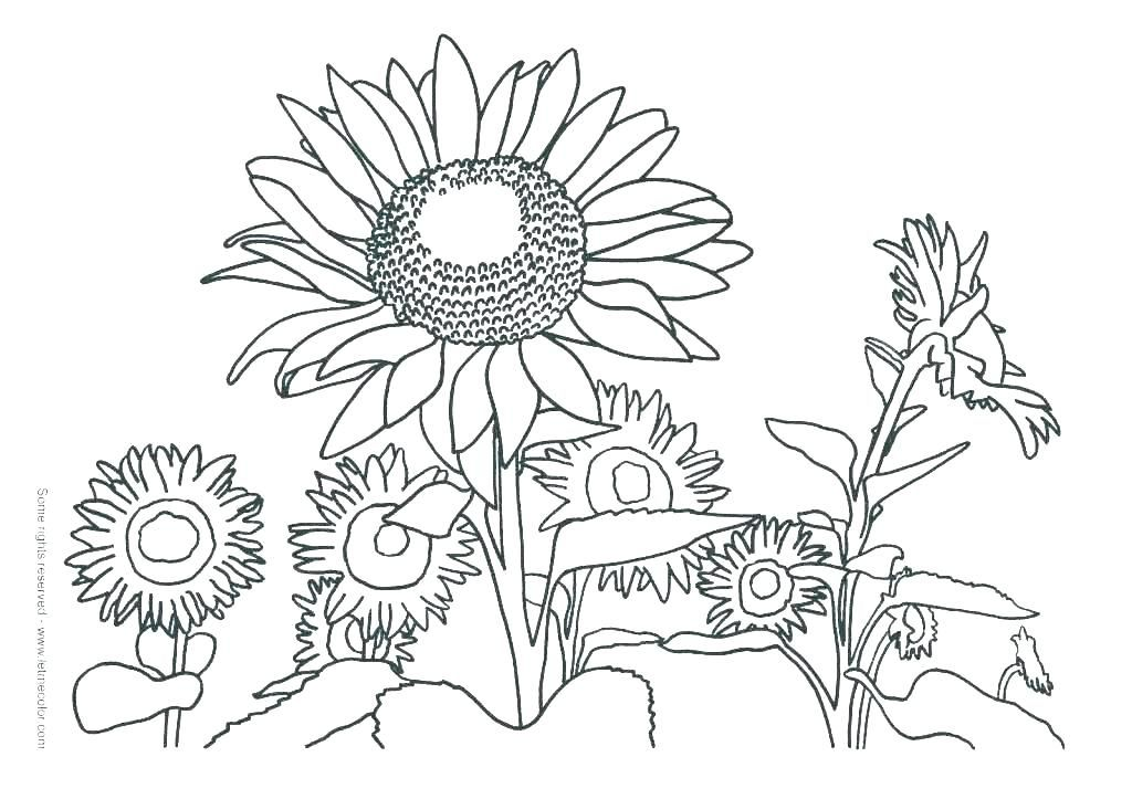 realistic sunflower coloring page Google Search