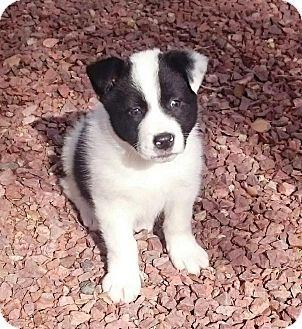 Phoenix Az Border Collie Mix Meet Joy A Puppy For Adoption