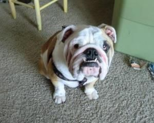 Adopt Andre On Bulldog Rescue Adoption Animals