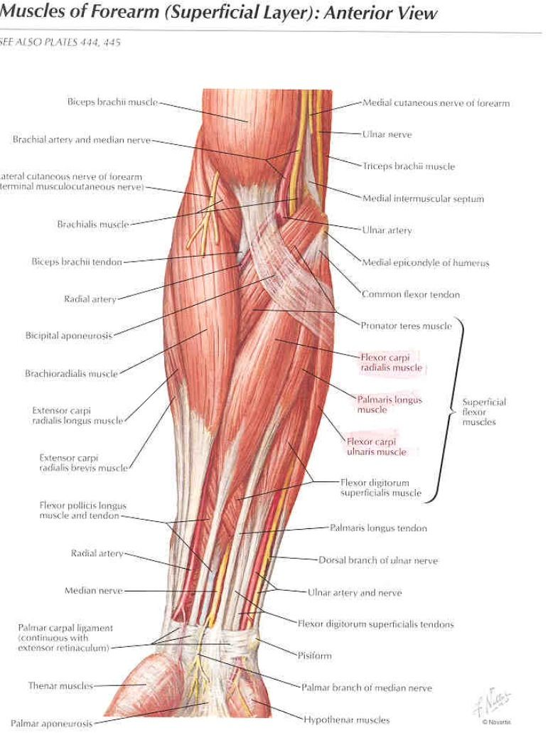 Anterior Aspect Of The Muscles Of The Elbow And Forearm Netter