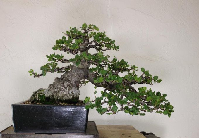 Pin On Bonsai