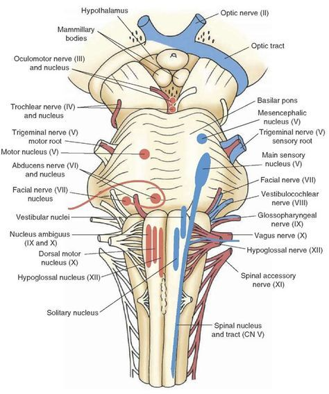 The cranial nerves organization of the central nervous system part the cranial nerves organization of the central nervous system part 1 ccuart Image collections