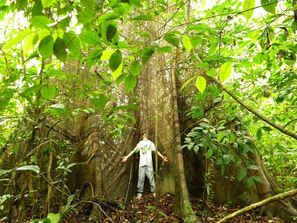 Arboles De La Selva Amazónica.