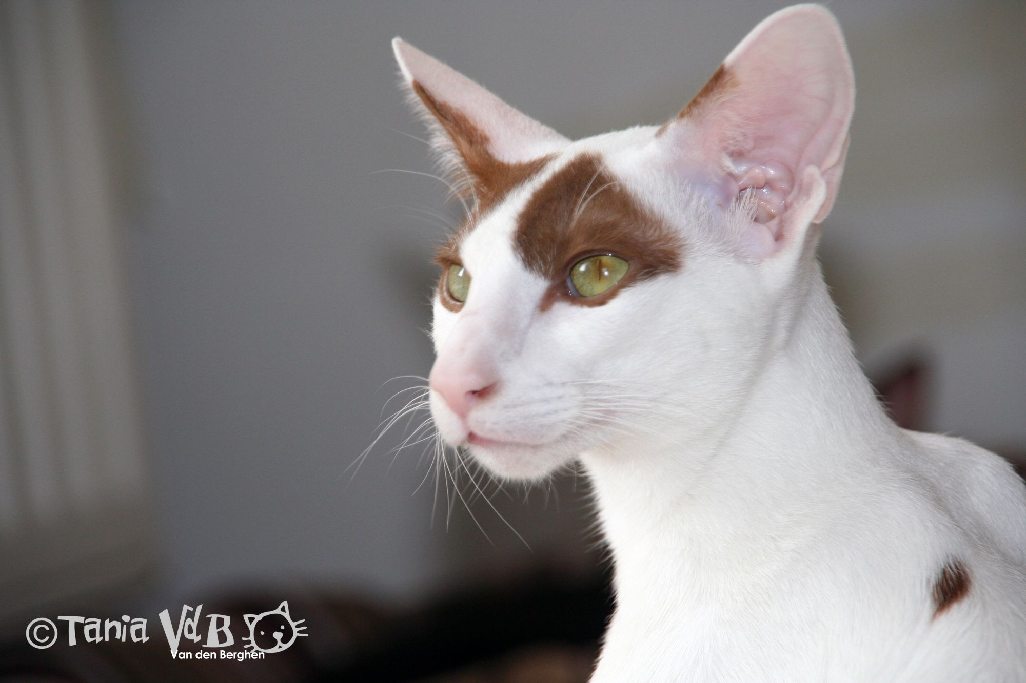 Osh Oriental Shorthair Colour Cinnamon Harlequin Picture By Tania Van Den Berghen