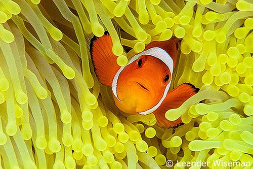 Clown fish in yellow anenome. Can't help but smile and look for Dory.