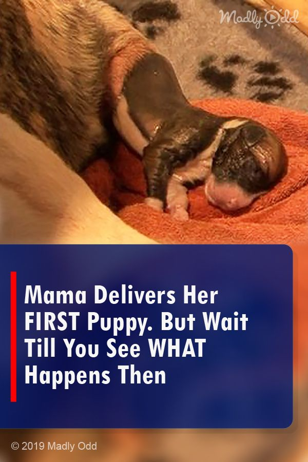 I was shocked after she gave birth to her 1st baby. #animals #cute #dog  videos #dogs #love #pets #puppies #puppy vi… | Puppies, Mini schnauzer  puppies, Sheepadoodle