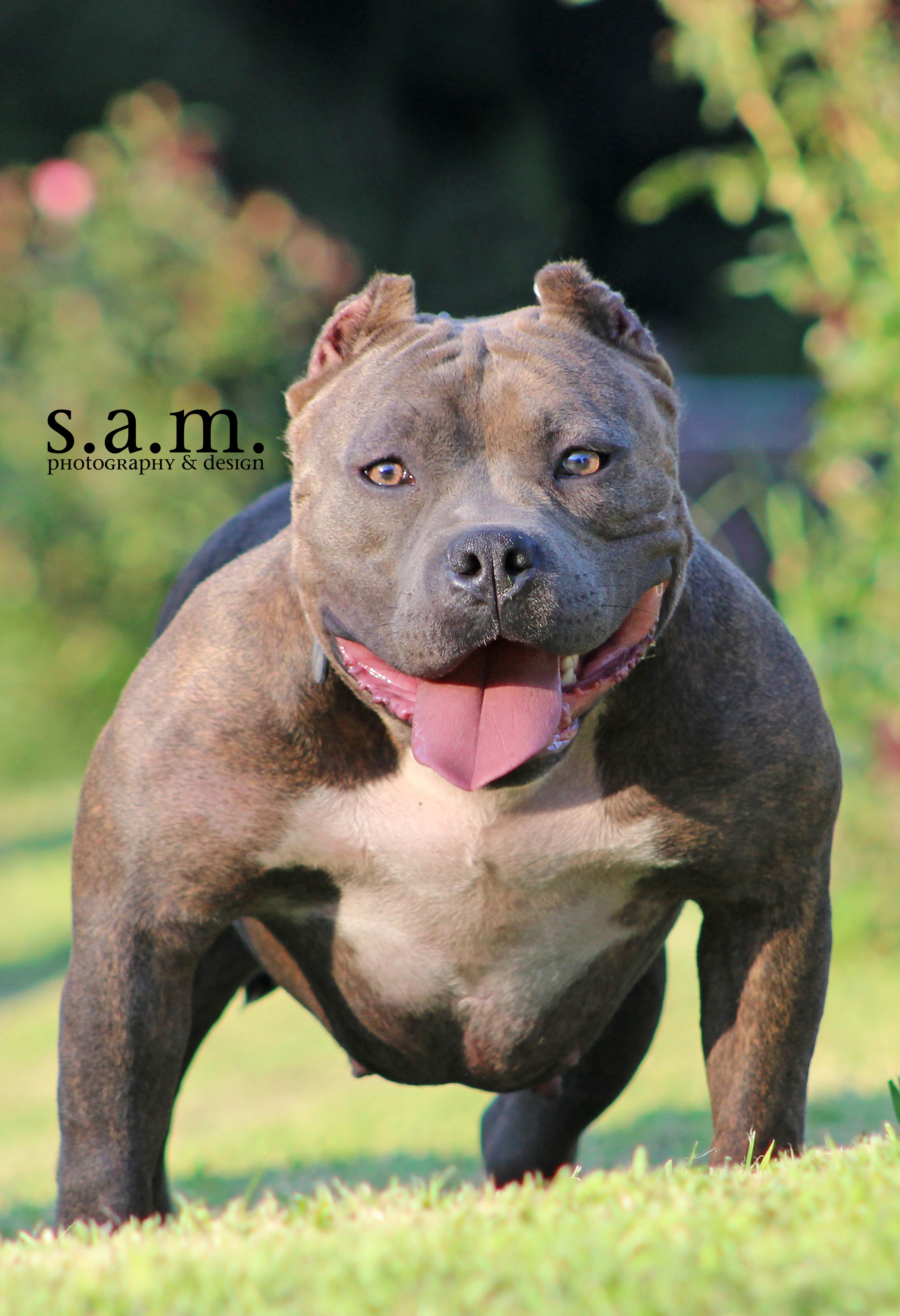 American Bully With Natural Ears American Bully With Natural