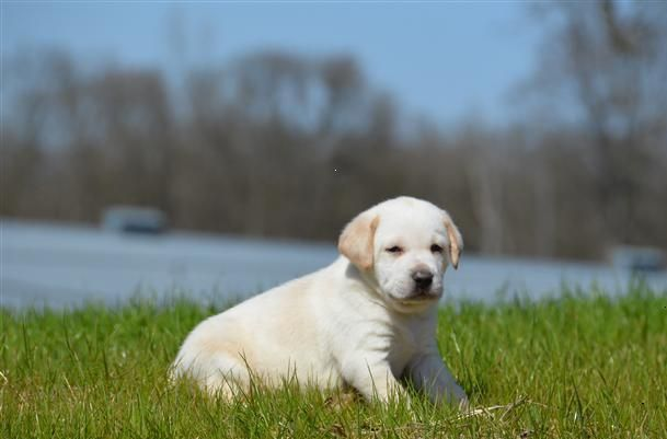 Here Comes The Sun Horizon Labradors Dog Breeder American Dog Labrador