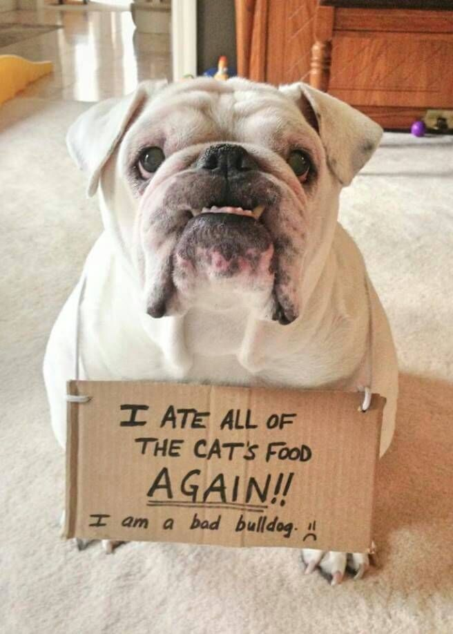 Best 25 Ways To Describe How English Bulldogs Act Behind The