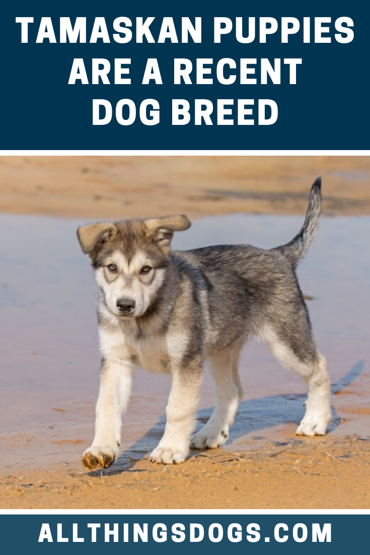 Over multiple generations of breeding Huskies, the German