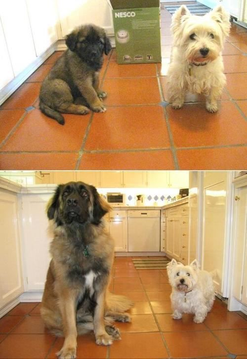 Leonberger size comparison! | Shih poo puppies, Funny ...
