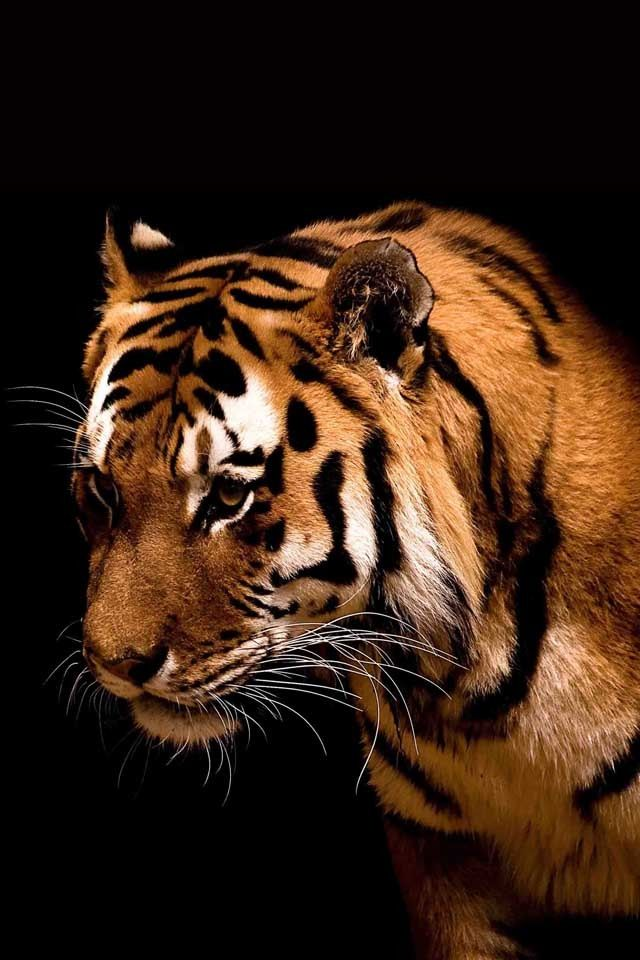 did you know that a tigers skin is striped even after you shave off