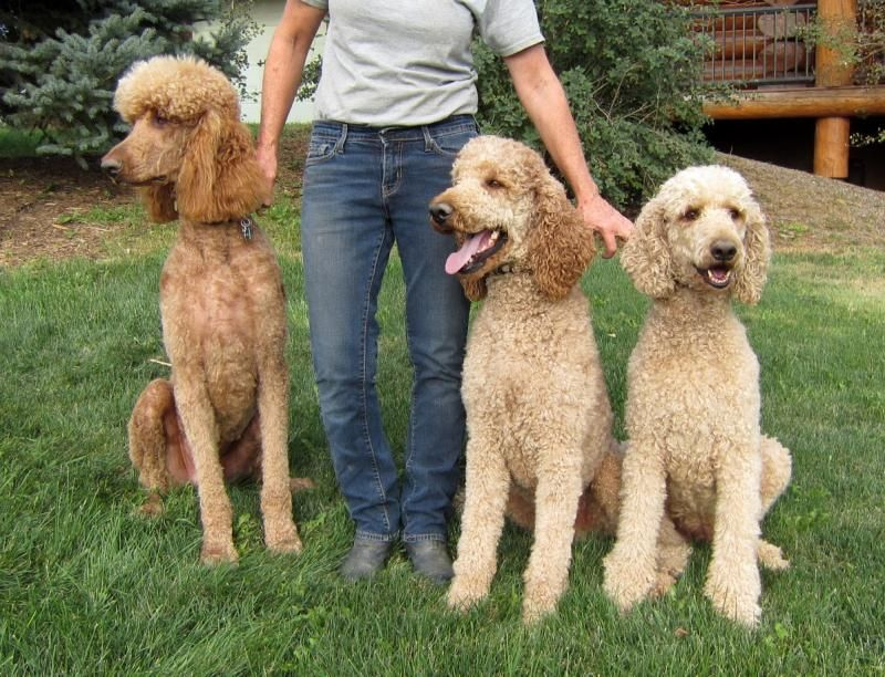Colorado Red Royal Standard Poodles Photos Of Sold Puppies And
