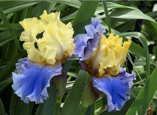 lovely blue and yellow iris