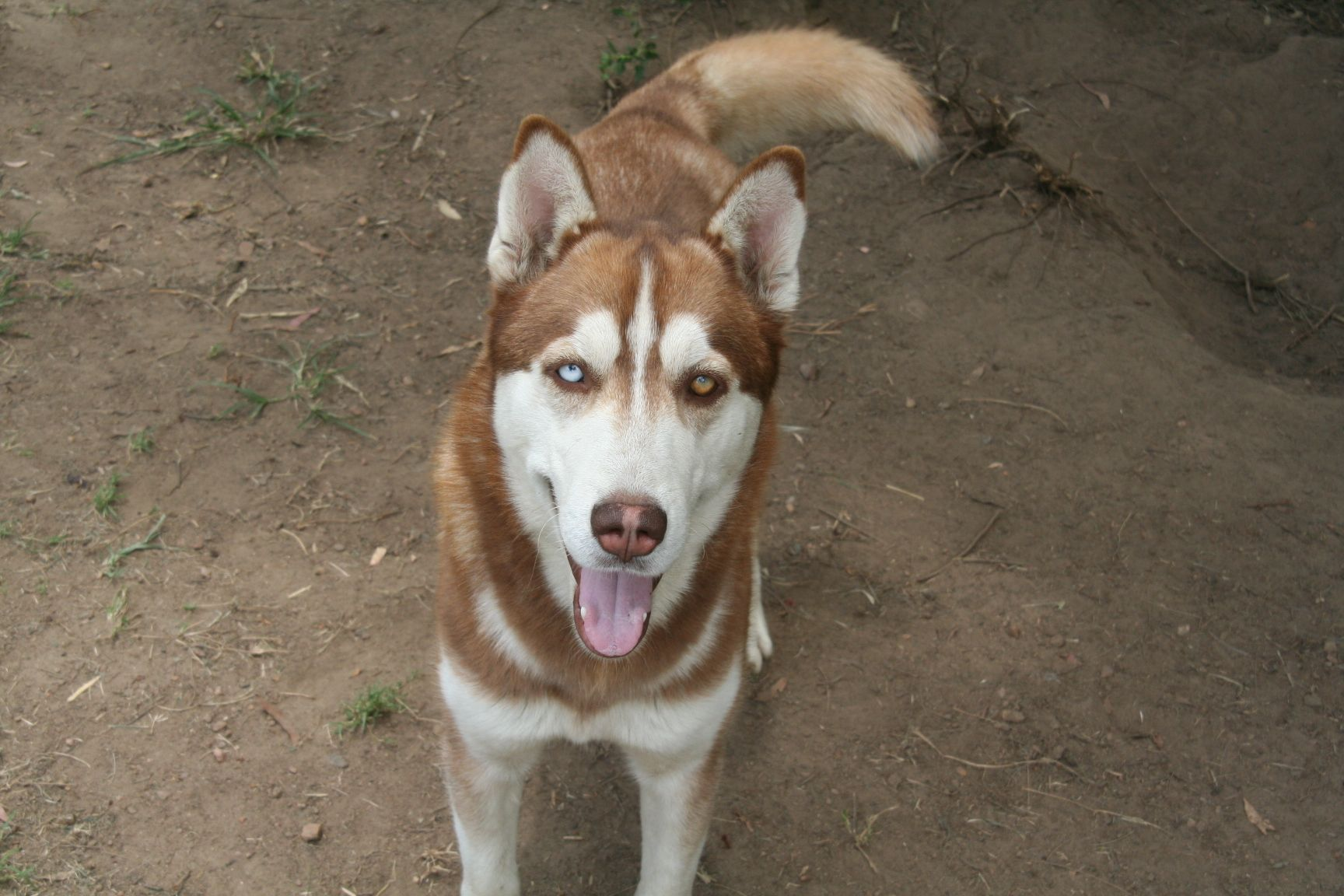 521 Kale 1 5 Year Old Brown Male Husky With 1 Blue Eye 1 Brown