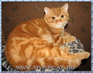 British Cat Red Classic Tabby Easynip American Shorthair Cat
