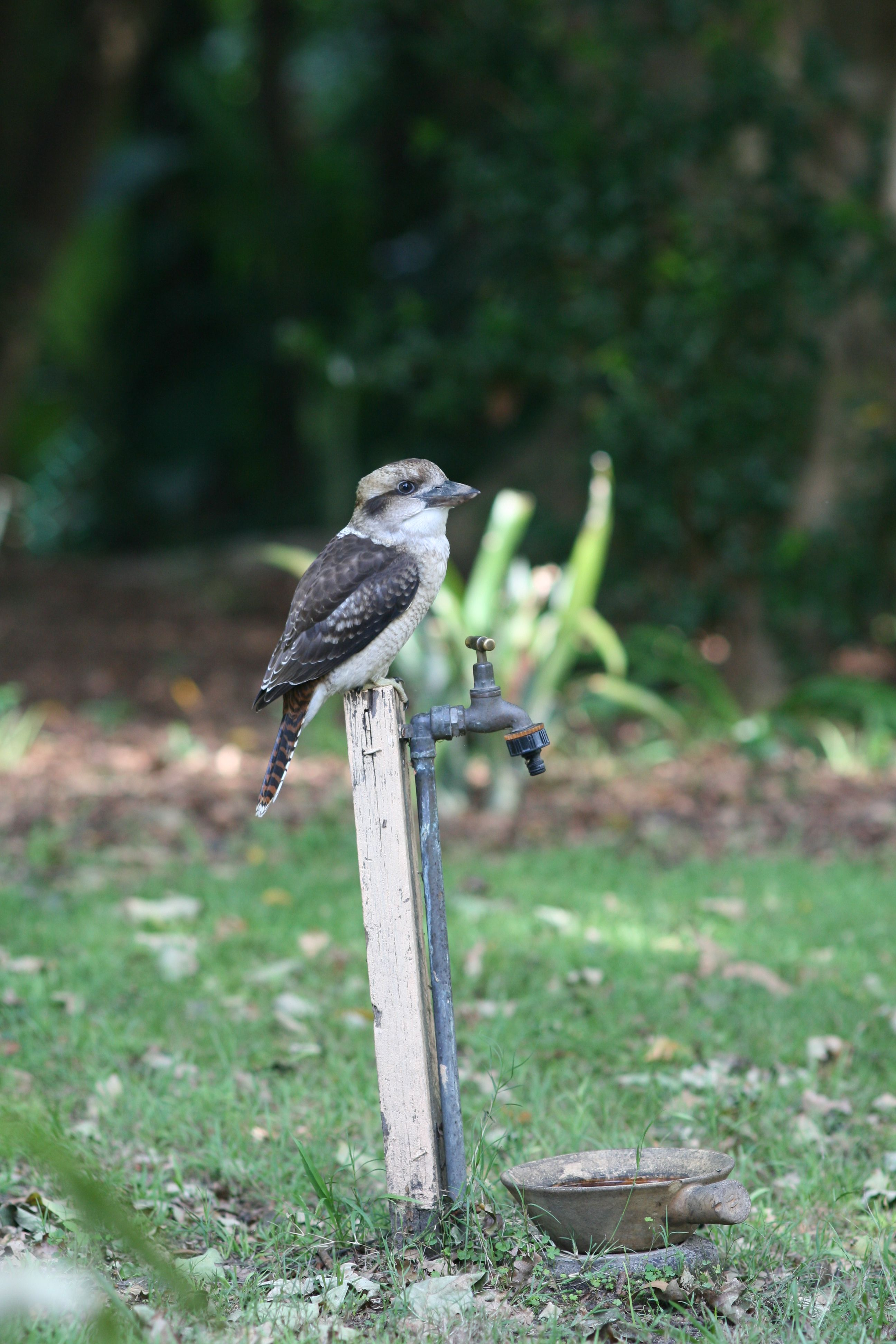 Who's that laughing up a storm? Kookaburra on garden tap