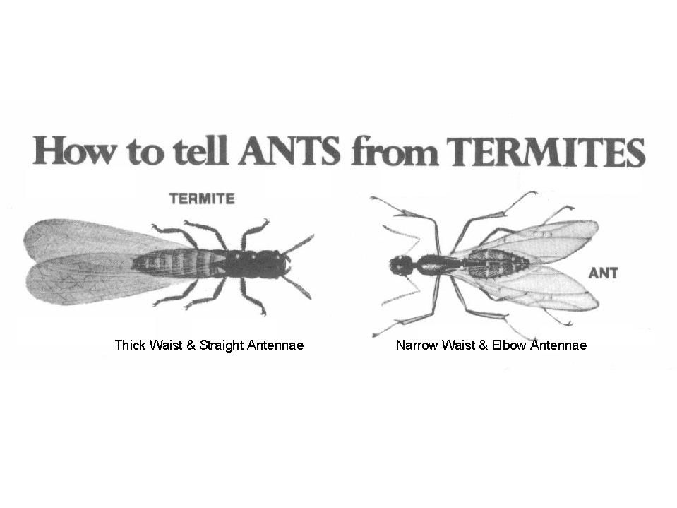 Difference Between Ants Amp Termites Termites Pinterest