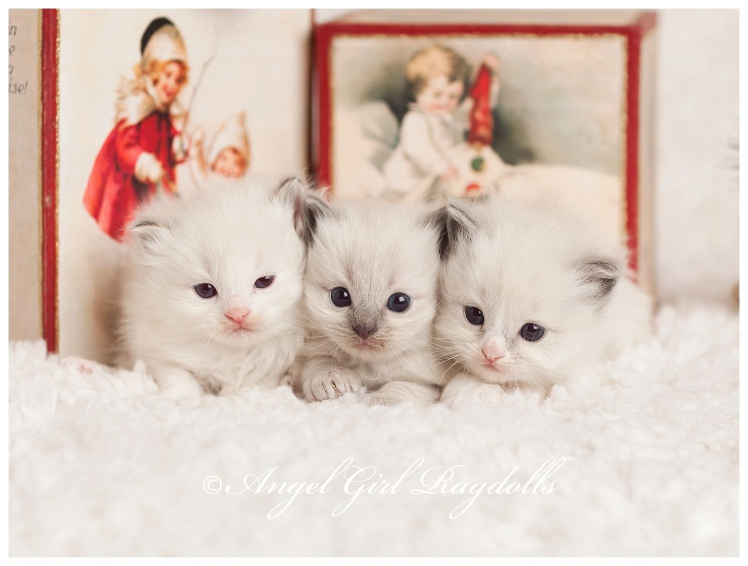 I want to these pet ragdoll babies A lilac lynx bicolor rag