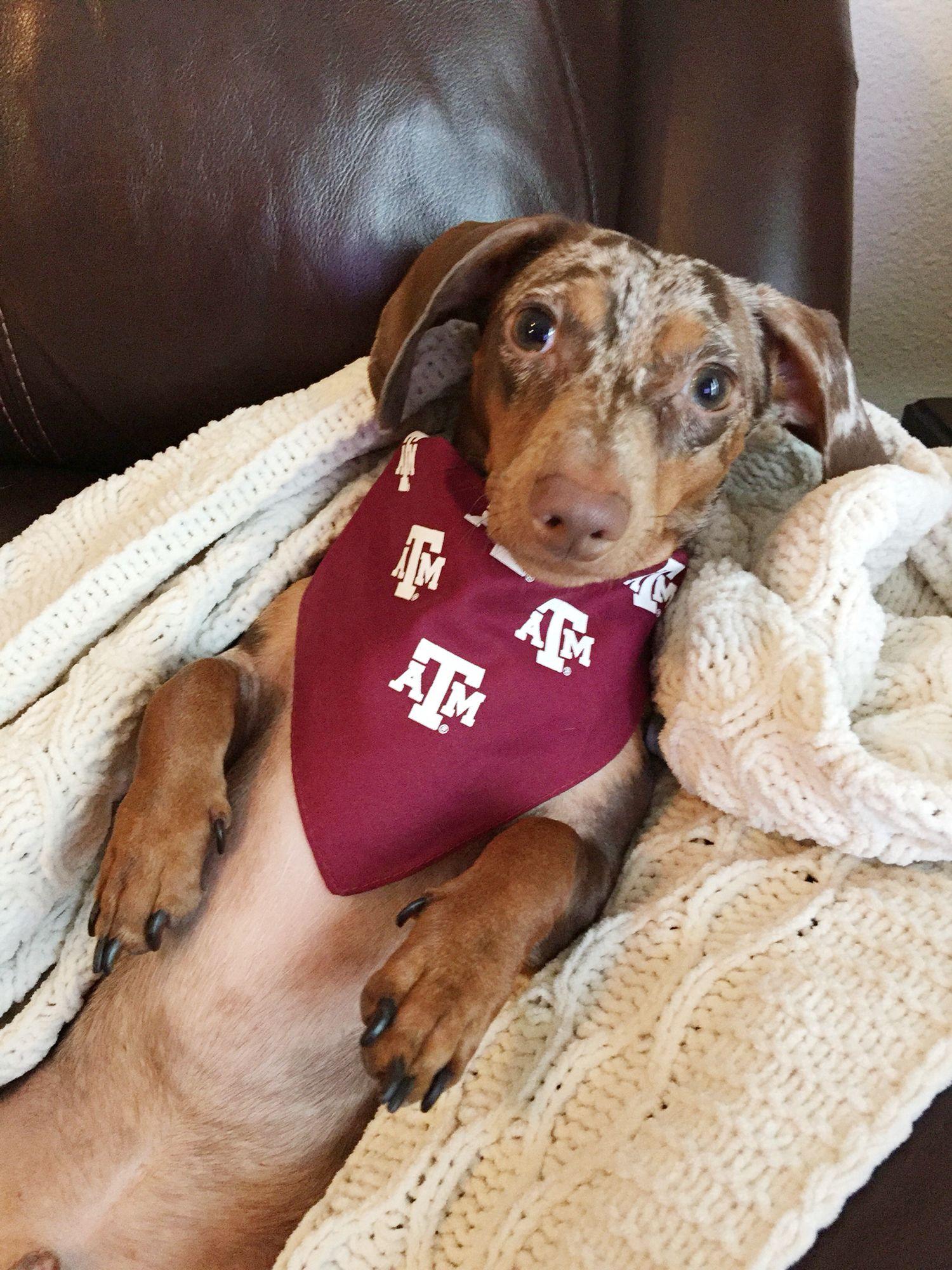 Found Dog Dachshund McKinney, TX, United States 75070