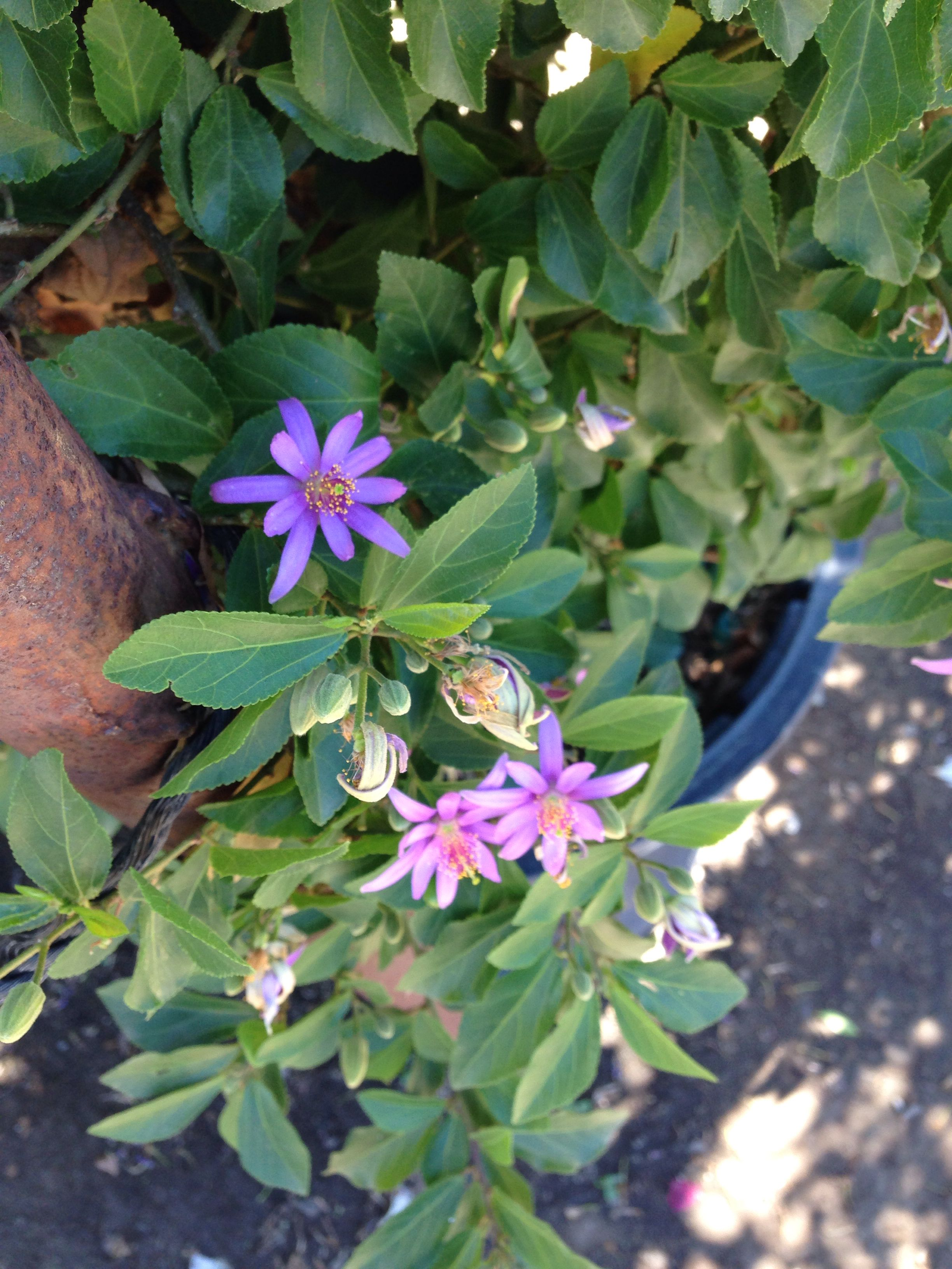 Grewia Caffra Lavender Star Flower Drought Tolerant Can Grow On Trellis Star Flower Hedges Flowers