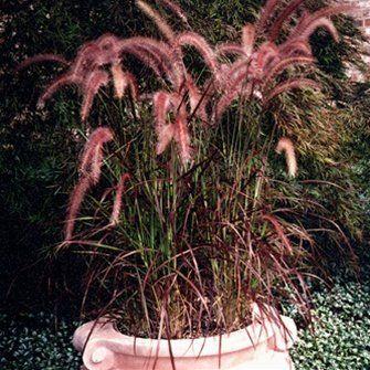 Ornamental Grasses Zone 7 Fountain grass for zone 7 xadvena rubrum 38 purple fountain fountain grass for zone 7 xadvena rubrum 38 purple fountain ornamental grasses workwithnaturefo
