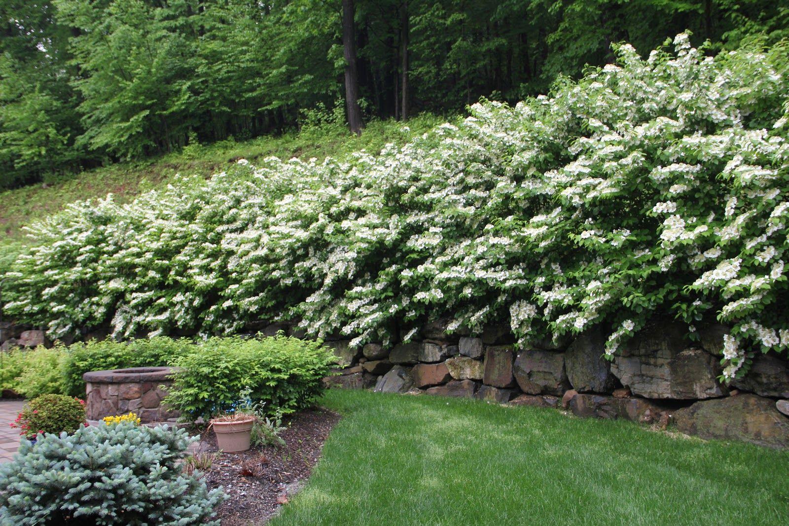 Viburnum Hedge Garden Hedges Landscaping Plants Plants