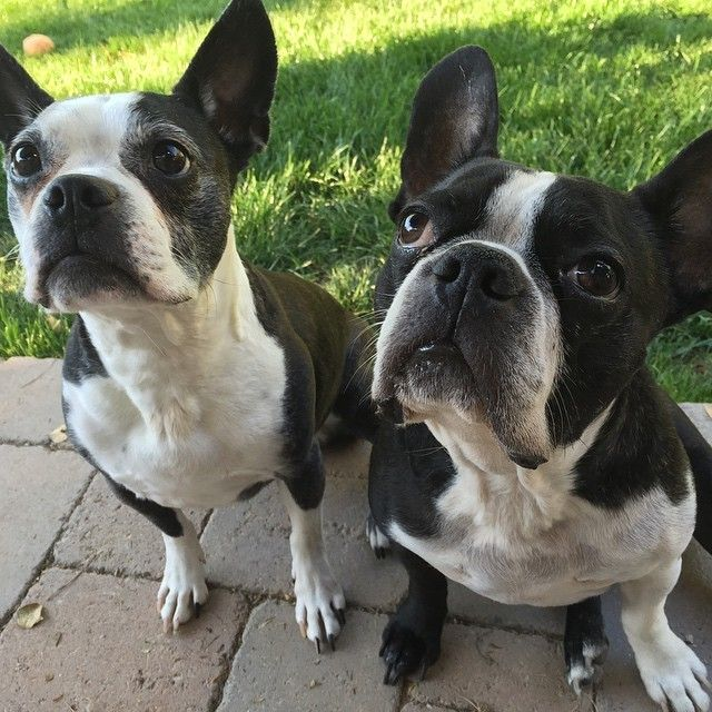 (6) It's Pinky and the Brain! | Boston Terrier Friendzy