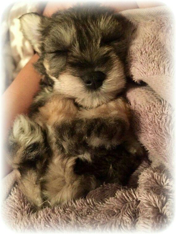 Schnauzer Pup Oliver Schnauzer Puppy Miniature Schnauzer Puppies Schnauzer