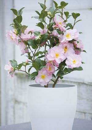 Trehane Is The Leading Online Store In Uk Offers The Camellia Plants At Very Reasonable Price Tag Trehane Has Over 200 Camellia Plant Plants Blueberry Plant