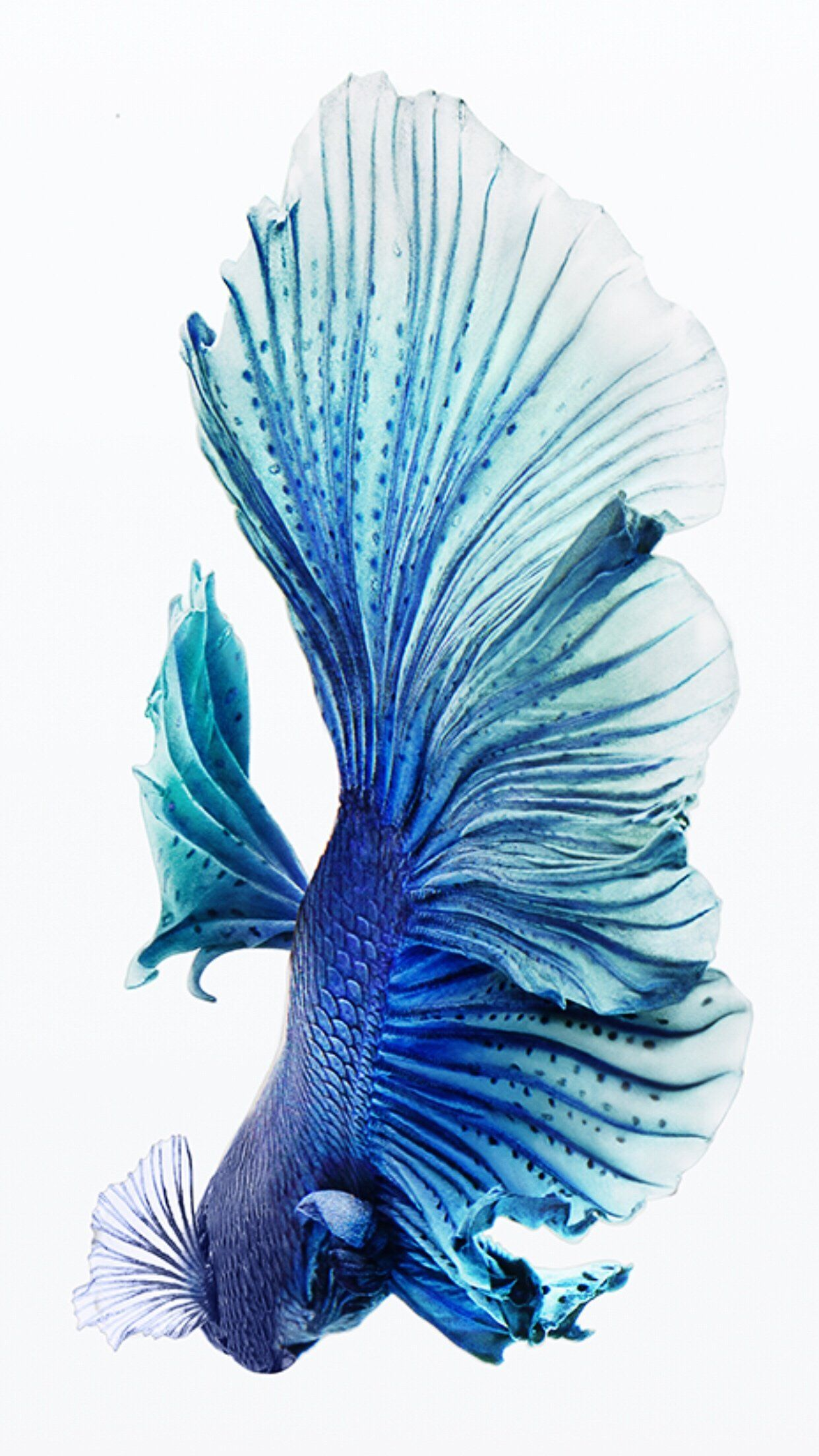 Blue Halfmoon Male Betta Fondo de pantalla de peces