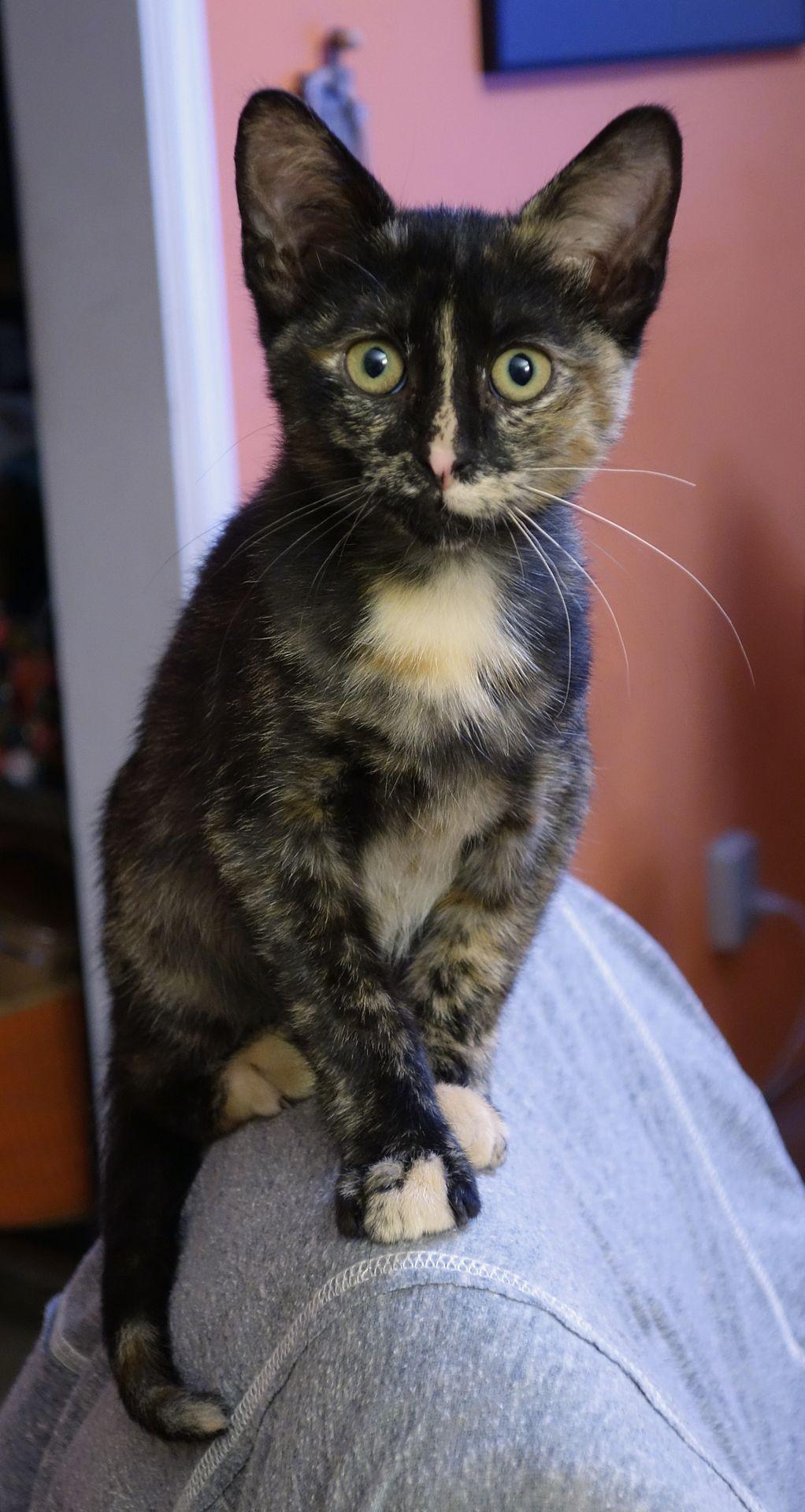 A Tortoiseshell Kitten With The Split Face Pattern And Black And White Whiskers Tortoiseshell Cat Names Kitten Names Tortoise Shell Cat