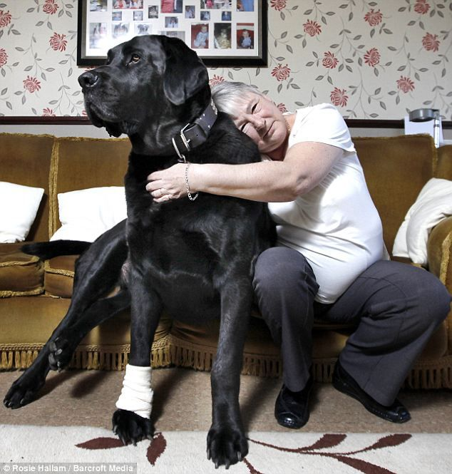 It S Christmas On The Sofa For Britain S Biggest Dog After He