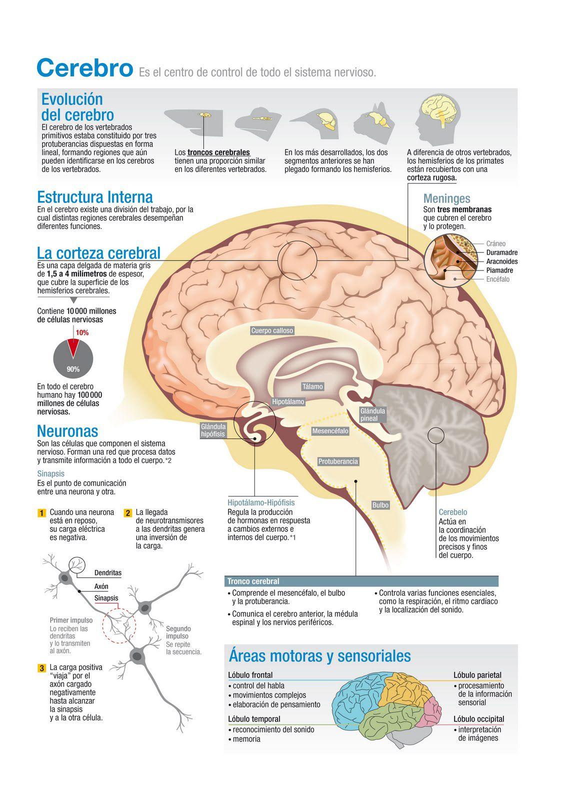 Cerebro, centro de control del sistema nervioso - Investigación y ...