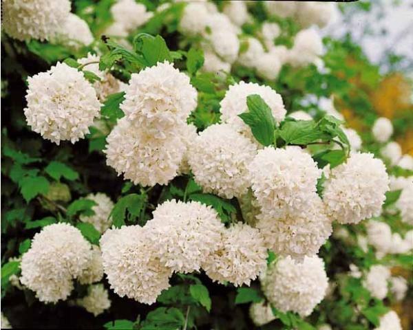 Boule de neige puret d 39 un jardin blanc pinterest - Arbre boule de neige ...