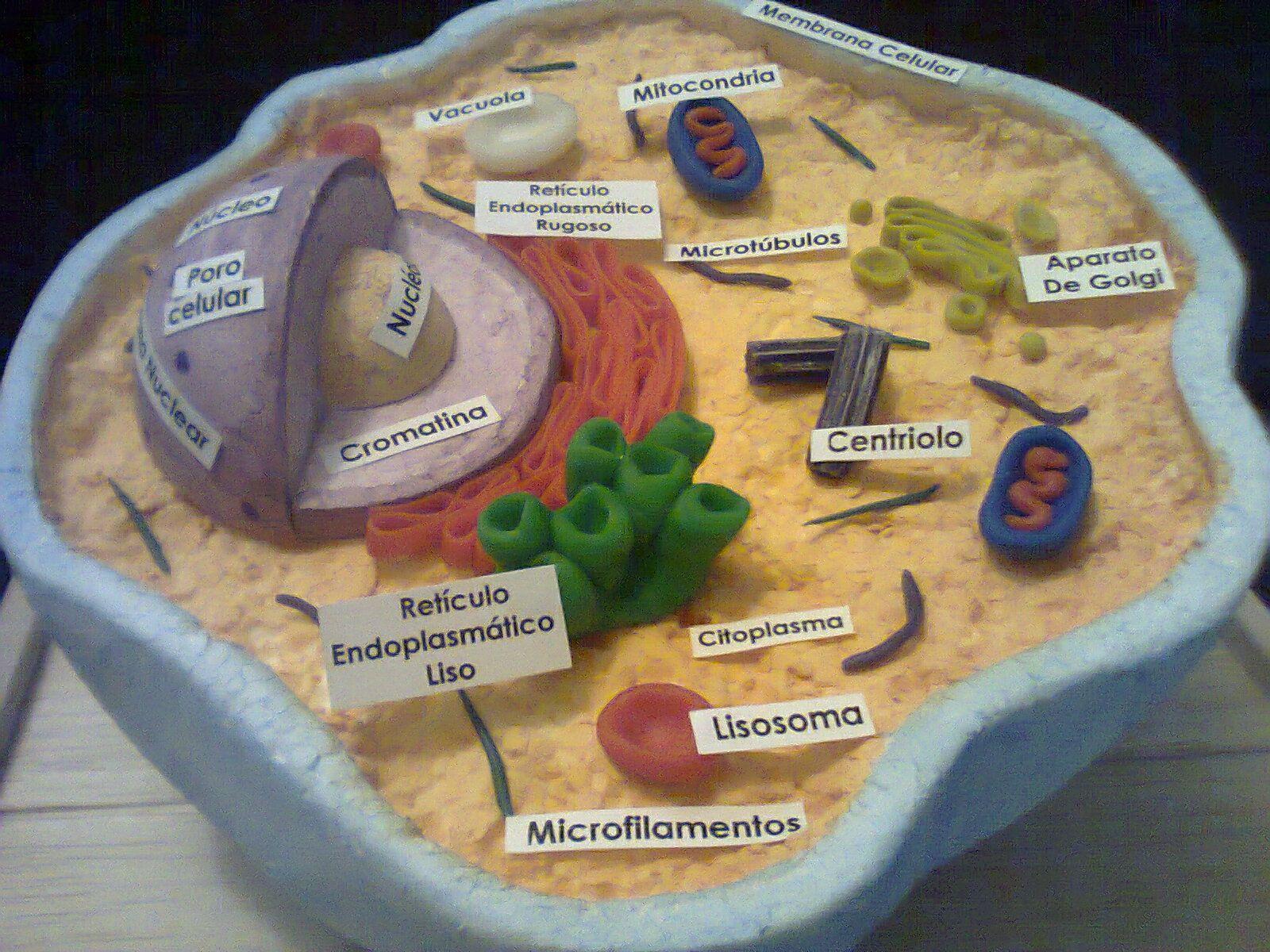 Maquetas Y Arte Maquetas De Celulas Célula Animal Y