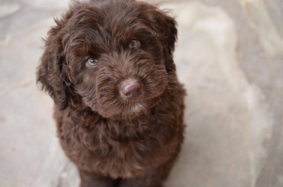 Hilton Head Chocolate Labradoodle Puppy Labradoodle Puppy