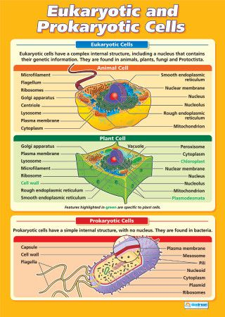 Eukaryotic And Prokaryotic Cells Science Educational School Posters Biology Classroom Science Cells Study Biology