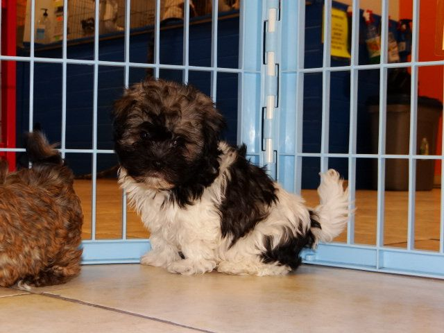Havanese Georgia Havanese Puppies For Sale From Local Breeders
