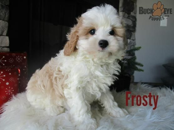 Frosty Cavapoo Puppy for Sale in Sugarcreek, OH