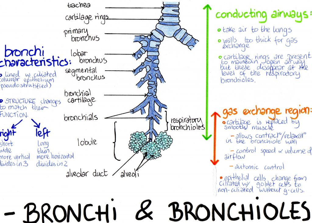 anatomy-of-the-bronchi-trachea-paus-medical-biology-notes.jpg (1024 ...
