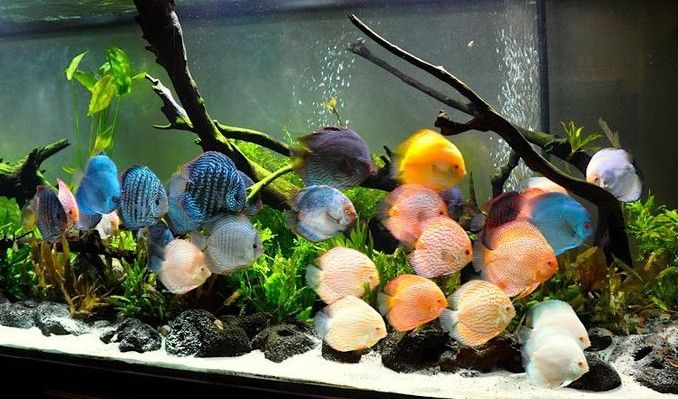 Tropical Freshwater Aquarium Weird Fish Google Search Discus Fish Fish Plants Discus Aquarium