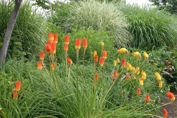 Red hot pokers knofflers torch lilies also known as for Long grass in garden